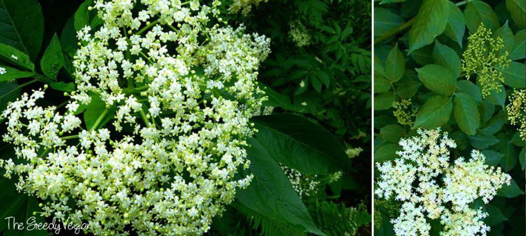 picking elderflowers