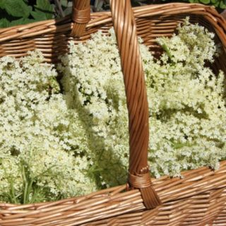 Spotting and Picking Elderflowers