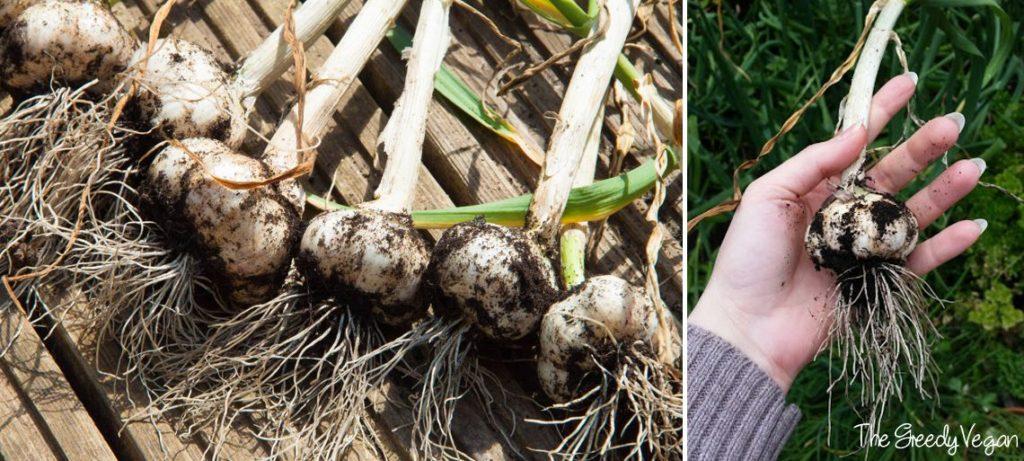 Garlic Harvest 001
