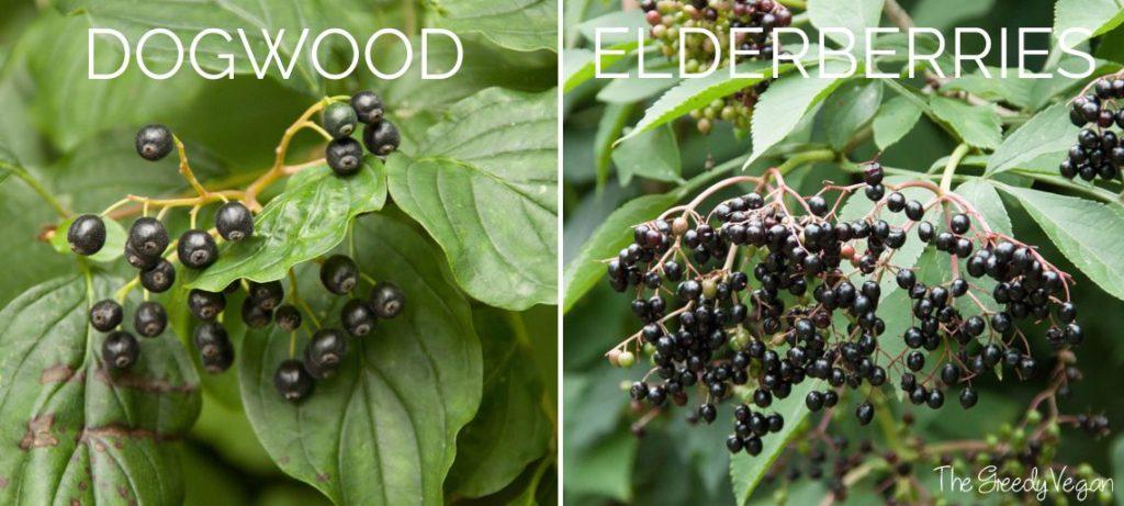 2015 August Spotting and Picking Elderberries 008