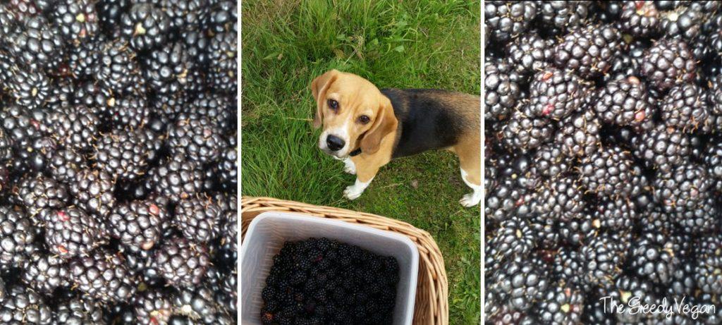 picking blackberries 006