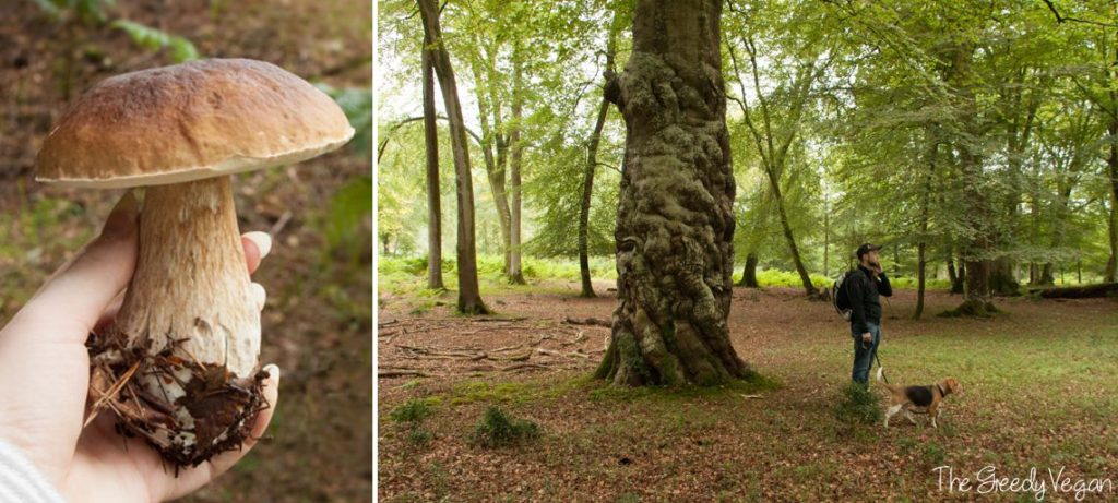 How to Identify and Pick Porcini King Bolete 004