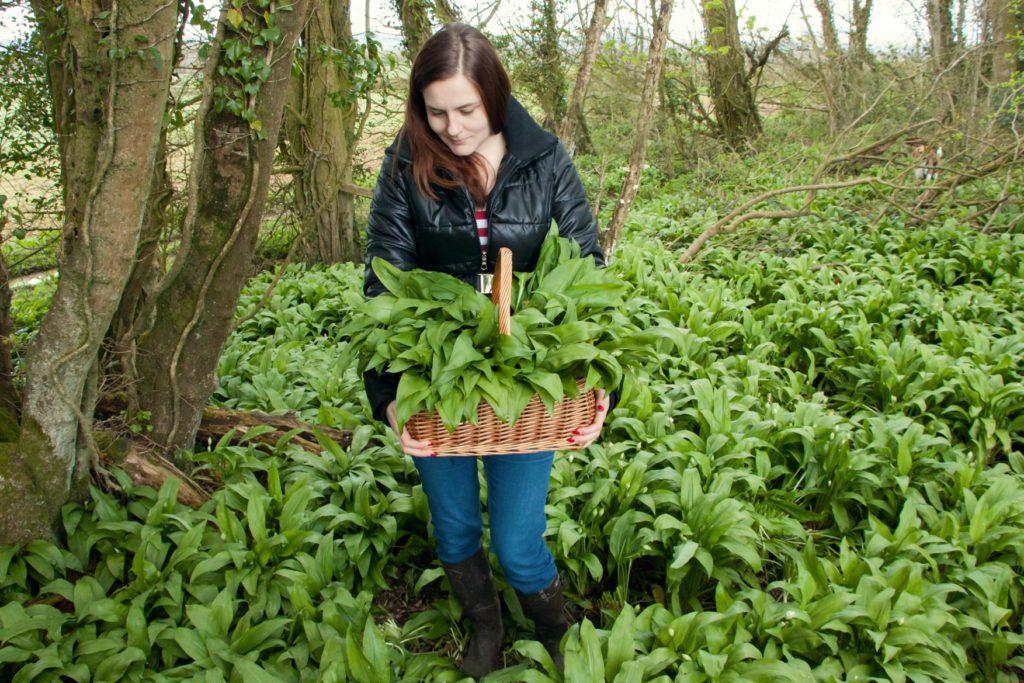 Identifying and Picking Wild Garlic