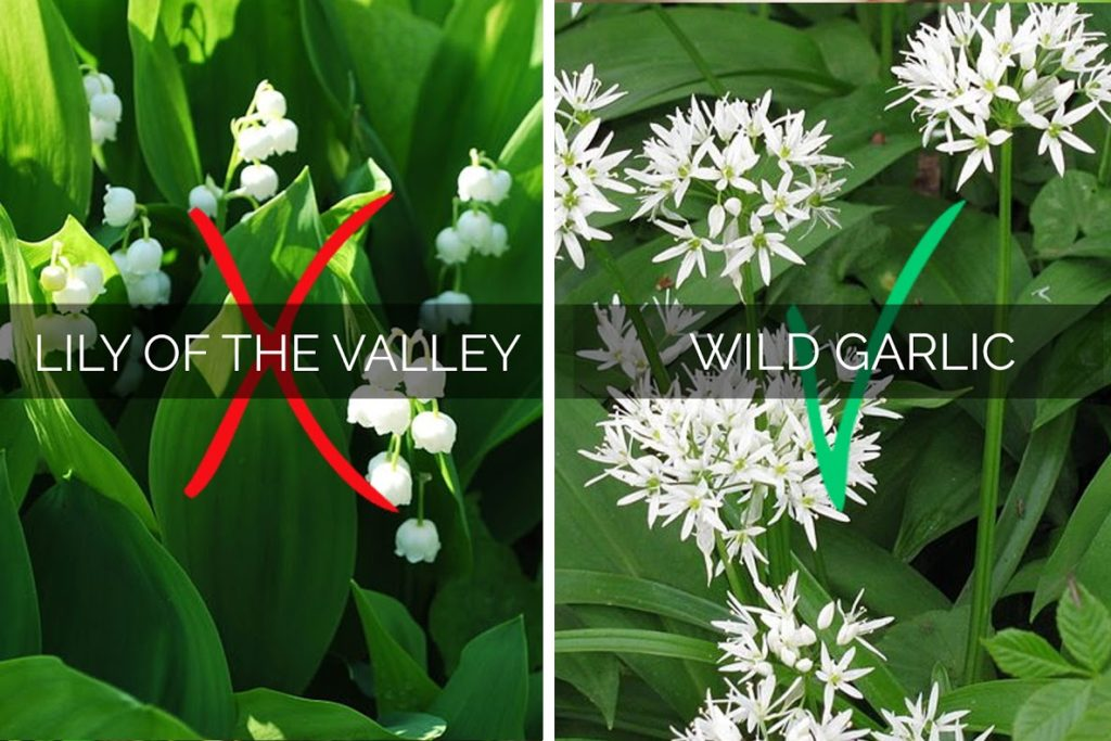 Identifying and Picking Wild Garlic