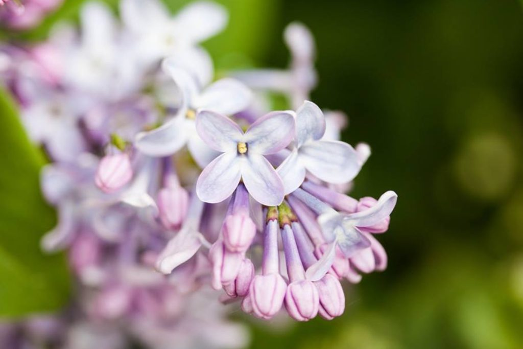 lilac cordial
