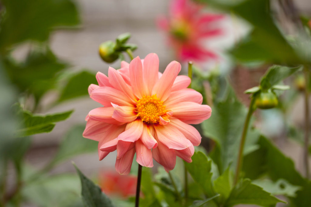 how to grow dahlias