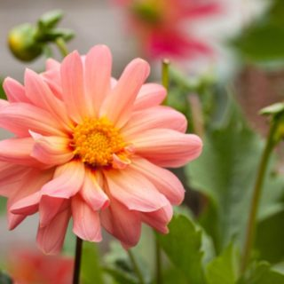 How to Grow Dahlias Successfully